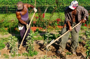 Jamaican-farm-workers-3