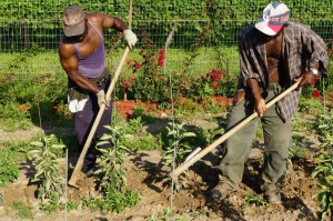 Jamaican farm workers 3