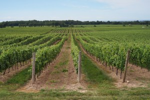 grape farmland
